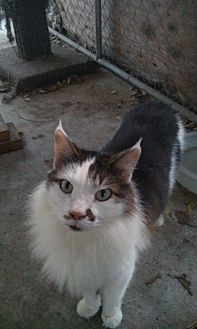 Maine Coon Cat for adoption in Sunny Isles Beach, Florida - Princess Oreo