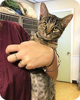 Domestic Shorthair Cat for adoption in Toledo, Ohio - Ester