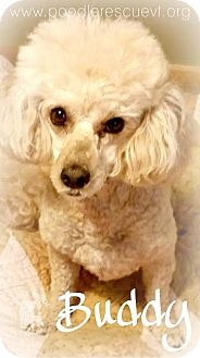 Poodle (Miniature) Mix Dog for adoption in Essex Junction, Vermont - Buddy