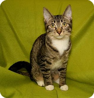 Domestic Shorthair Cat for adoption in Bradenton, Florida - Jude