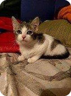 Domestic Shorthair Kitten for adoption in Hampton, Virginia - OLIVIA