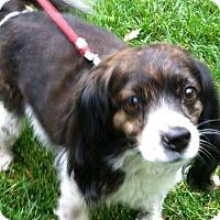 Adopt A Pet :: Muffin - Thompson Falls, MT
