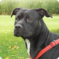 American Staffordshire Terrier Mix Dog for adoption in Shelby, Michigan - Daniel