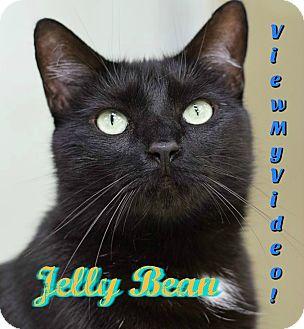 Domestic Shorthair Cat for adoption in Sarasota, Florida - Jelly Bean