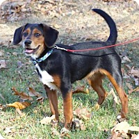Beagle Mix Dog for adoption in Salem, New Hampshire - PUPPY JESSIE