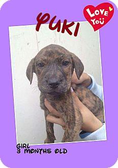Labrador Retriever/Retriever (Unknown Type) Mix Puppy for adoption in LAKEWOOD, California - Yuki
