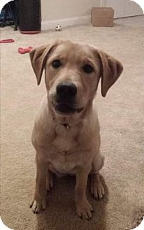 Labrador Retriever Mix Puppy for adoption in Northwood, New Hampshire - Taylor