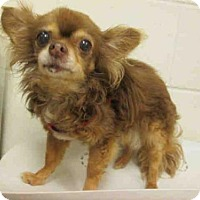 Chihuahua Dog for adoption in Upper Marlboro, Maryland - MALIKA