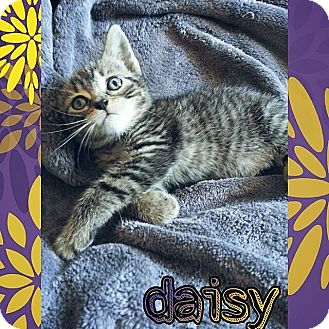 Domestic Shorthair Kitten for adoption in Tampa, Florida - Daisy