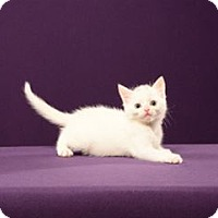 Adopt A Pet :: Frosti (kitten) - Cary, NC