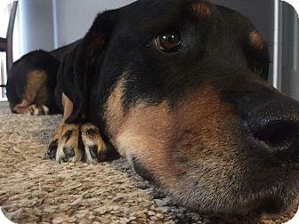 Rottweiler Dog for adoption in Overland Park, Kansas - Ebony