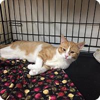 Adopt A Pet :: Trouble - Lunenburg, MA