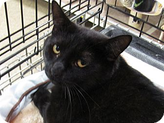 Domestic Shorthair Cat for adoption in Diamond Bar, California - EBONY