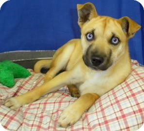 Husky/Terrier (Unknown Type, Small) Mix Puppy for adoption in Lincolnton, North Carolina - Pandora