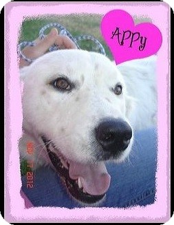 Great Pyrenees/English Setter Mix Dog for adoption in Stilwell, Oklahoma - Appy