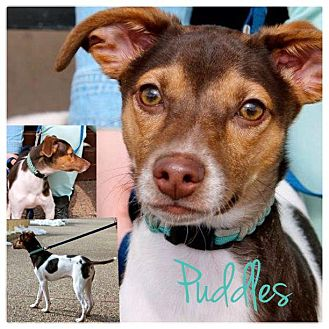 Rat Terrier Mix Puppy for adoption in Garden City, Michigan - Puddles