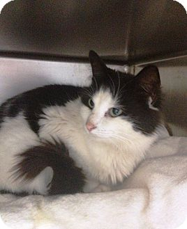 Domestic Mediumhair Cat for adoption in Chattanooga, Tennessee - Dottie