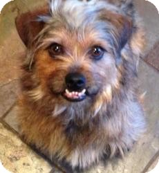 sunshine adopted dog 406 dallas tx cairn terrier
