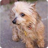 Adopt A Pet :: Iris - Portland, OR