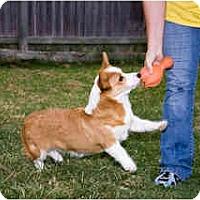 Adopt A Pet :: Shodie - Inola, OK