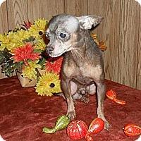 Adopt A Pet :: Lil Boy Blue - Chandlersville, OH