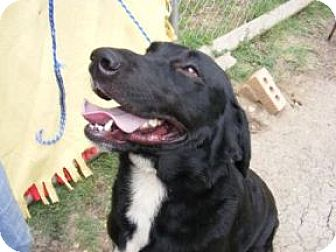 Labrador Retriever/Golden Retriever Mix Dog for adoption in Dallas, Texas - Tailer