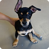 Adopt A Pet :: Minion- I am adorable! - Redondo Beach, CA