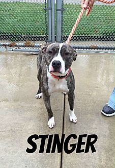 Pit Bull Terrier/Staffordshire Bull Terrier Mix Dog for adoption in Fremont, Michigan - Stinger