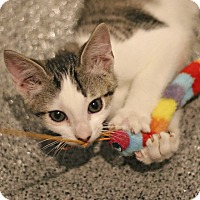 Adopt A Pet :: Franklyn - Lincoln, NE