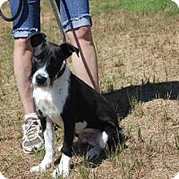 Adopt A Pet :: Oreo - Washington, DC