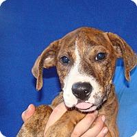 Adopt A Pet :: Lovey - Oviedo, FL