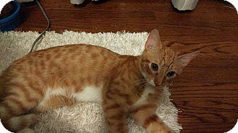 Domestic Shorthair Kitten for adoption in Chesapeake, Virginia - Bowser