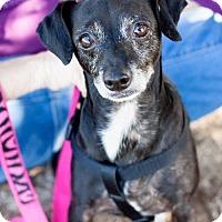 Chihuahua Mix Dog for adoption in Tucson, Arizona - George