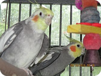 Cockatiel for adoption in East Hartland, Connecticut - Tiel Crew
