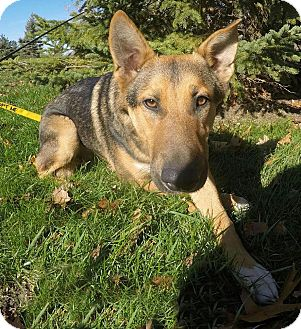 Shepherd (Unknown Type) Mix Dog for adoption in Detroit, Michigan - Rex-Pending!