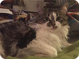 Domestic Mediumhair Cat for adoption in New York, New York - Lola