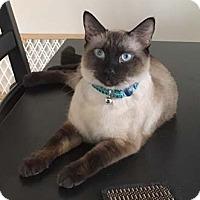 Adopt A Pet :: Basura - Merrifield, VA