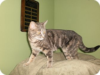 Domestic Shorthair Cat for adoption in Saint Albans, Vermont - Sugar