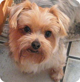 Yorkie, Yorkshire Terrier Mix Dog for adoption in Sparta, New Jersey - Leno-Purebred