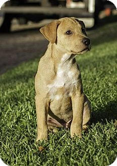Shar Pei/Labrador Retriever Mix Puppy for adoption in Houston, Texas - Bodie