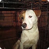 American Staffordshire Terrier/Anatolian Shepherd Mix Dog for adoption in Wylie, Texas - Zena