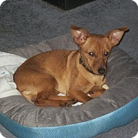 Adopt A Pet :: Foxy - Nashville, TN