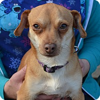 Chihuahua/Dachshund Mix Dog for adoption in Lodi, California - Chaser