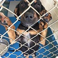 Adopt A Pet :: Gable - Waycross, GA