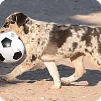 Adopt A Pet :: Brooke - Corrales, NM