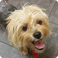 Adopt A Pet :: Benji **Adoption Pending** - Fairfax, VA