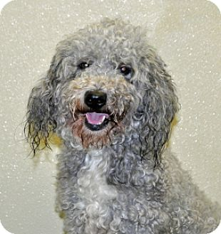 Lhasa Apso/Poodle (Miniature) Mix Dog for adoption in Port Washington, New York - Mochi