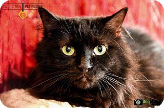 Maine Coon Cat for adoption in St Paul, Minnesota - Priya aka Poe