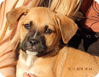 German Shepherd Dog/English Bulldog Mix Puppy for adoption in Burlington, Vermont - Whiskey (6 lb) Video!