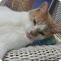 Adopt A Pet :: Ginny - Springfield, VT